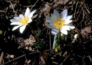 flowers blood root