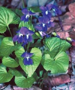 flowers blue violet viola sororia wiki