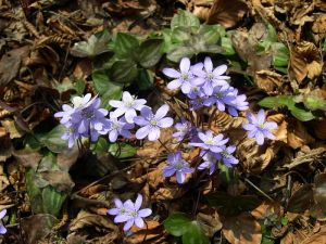 flowers hepatica nobilis