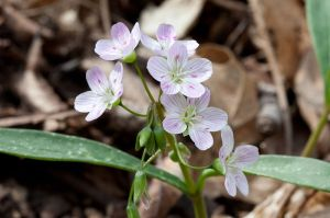 flowers spring beauties claytonia virginica