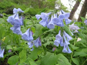 flowers virginia bluebell