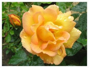 Rose mai gold