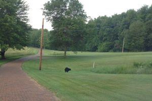local june 12 2013 black bear in ghent hillls arbor green area