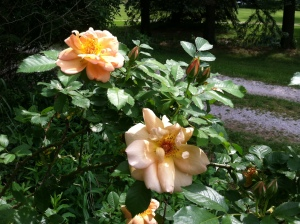 Roses from Alice may 2013   4th pic