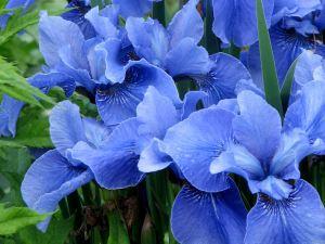 Flowers blue iris