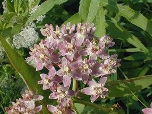 Flowers milkweed 9 2013