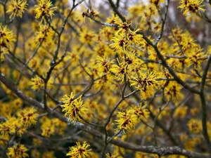 Flowers spring witch hazel