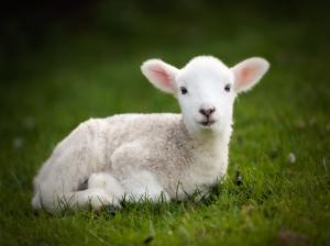 Animal lamb