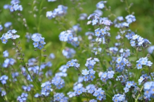 Flowers forgetmenots from little red hen may '10
