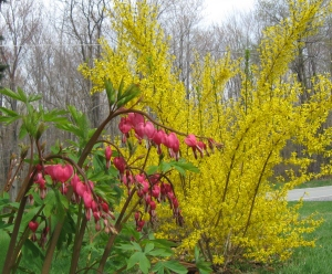 Flowers forsythia and bleeding heart