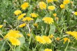 Flowers weeds dandelion