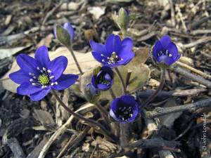Flowers Hepatica_nobilis17_JL