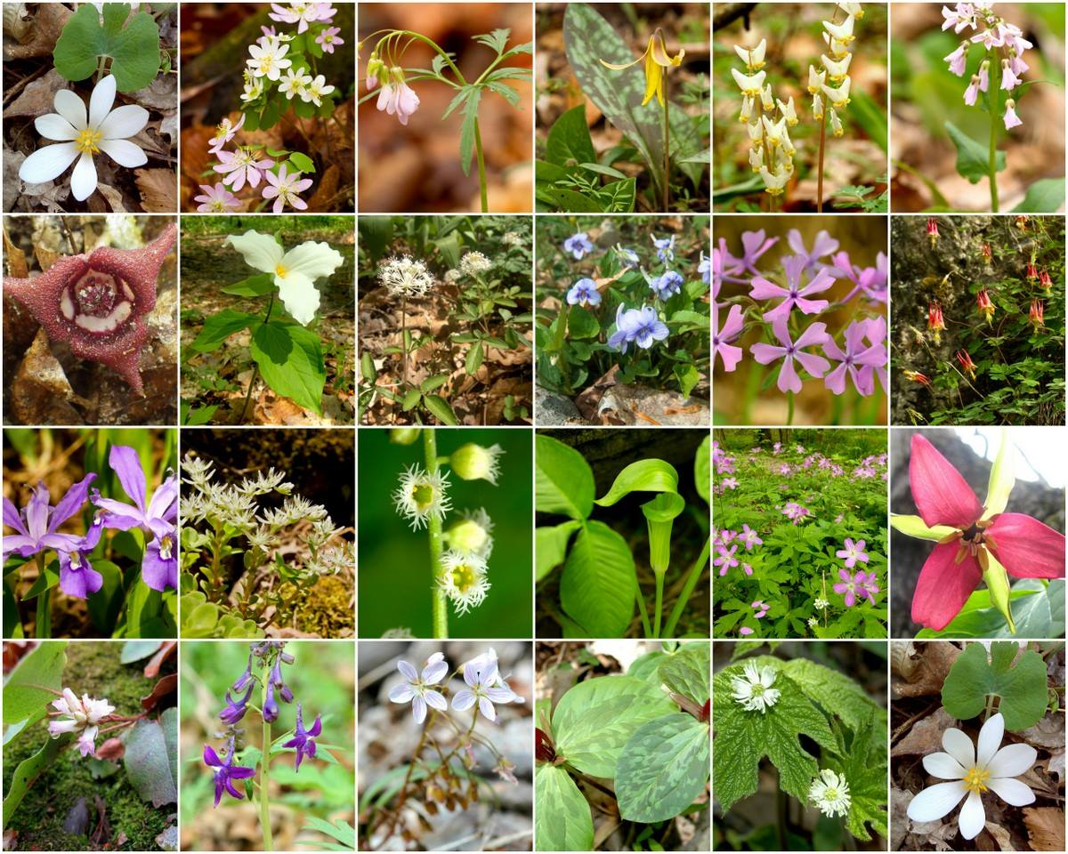 Sweet spring i do believe you are here to stay for a while flowers ohio wild flower chart mightylinksfo