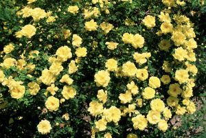 Flowers yellow rose of texas harrisons yellow