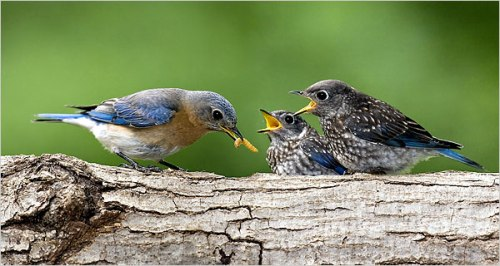 Birds bluebirds from nytimes 2008