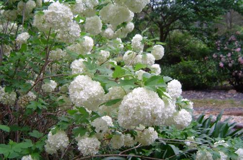 Flowers Snowball bush or Guelder rose