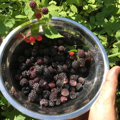 alice june 2018 black raspberries.JPG