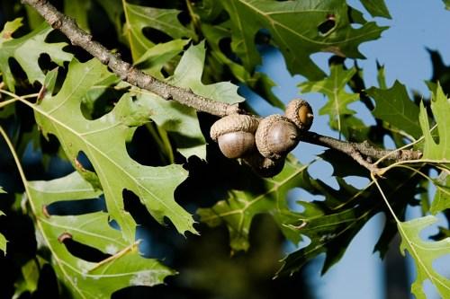 Shumard oak acorns, Quercus shumardii