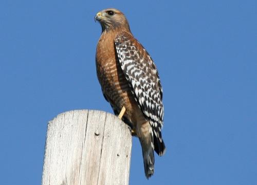 birds red shoulder hawk