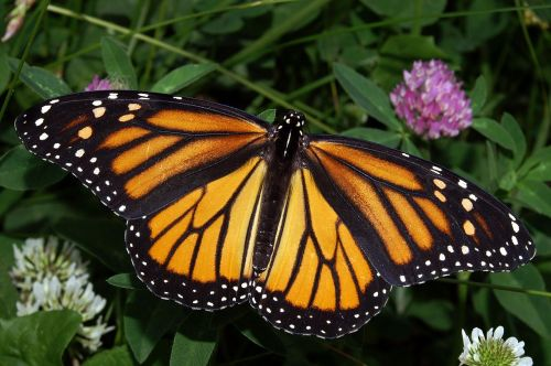 Butterfly monarch 7 2019 female wiki