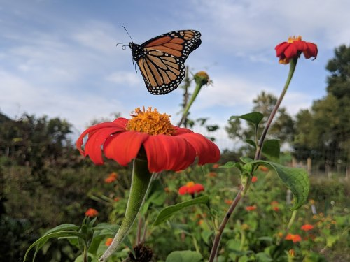 butterfly monarch 7 2019 wiki mex sunflower