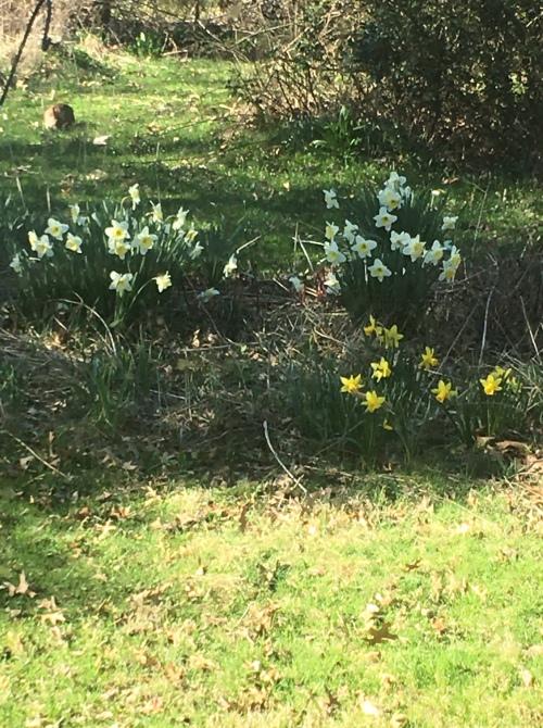 blog april 2020 daffodils