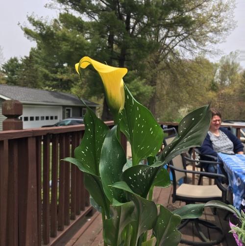corona mday 5 2020 calla lily