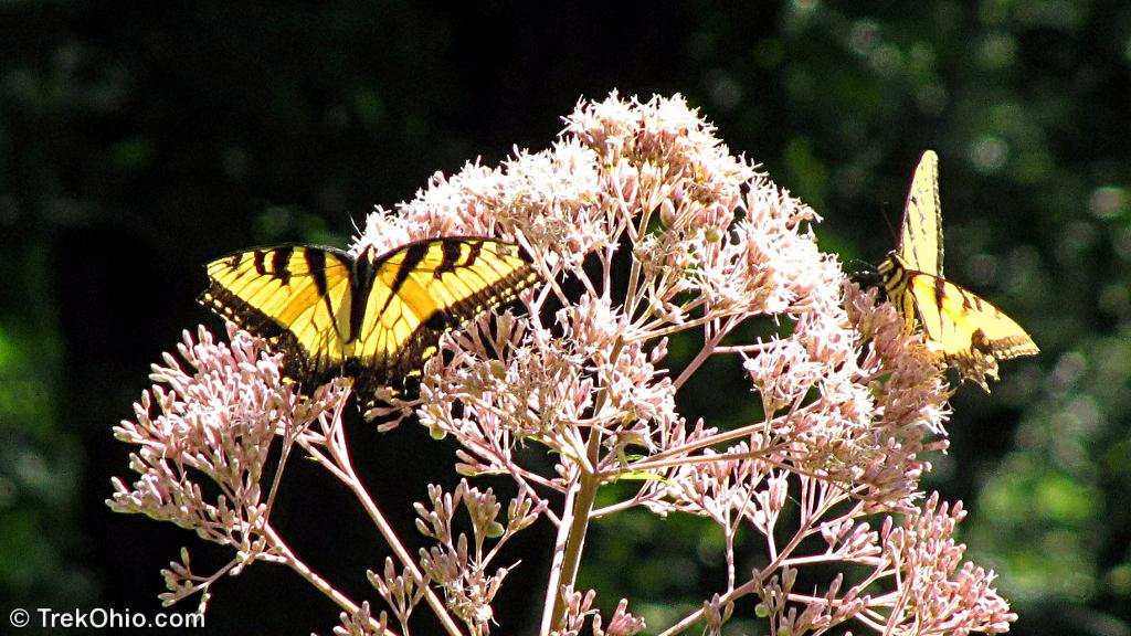 butterflies male tiger swallowtail
