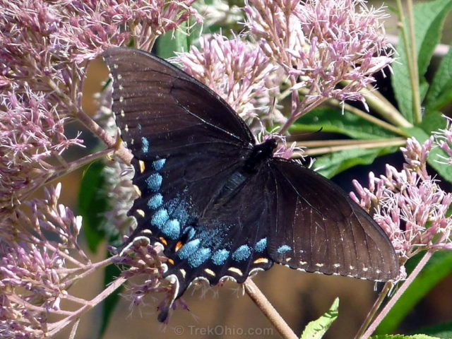 butterfly eastern tiger swallowtail