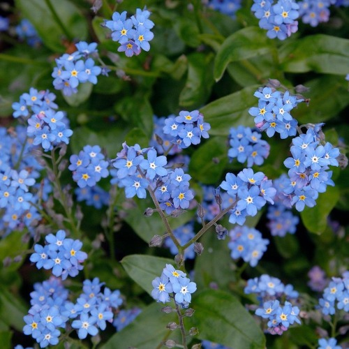 flowers forget me nots 9 2019
